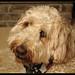 Duncan-Goldendoodle