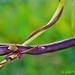magical purple beans
