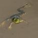 Bull Frog resized