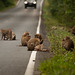 Monkeys on the Road!