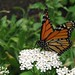 Butterfly #68