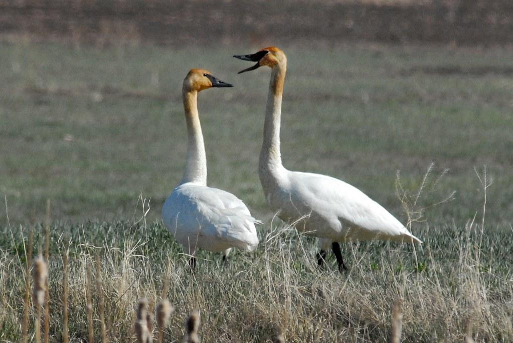 Tundra Swans (Cygnus columbianus) DSC_0070 | by NDomer73