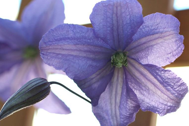 prince charles clematis bloom finally some flowers. Black Bedroom Furniture Sets. Home Design Ideas