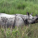 One Horned Rhino Assam - India