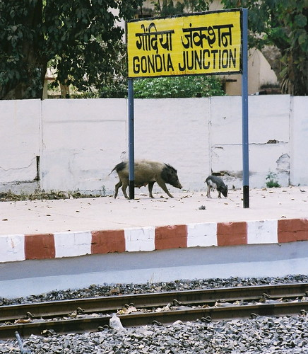 Feral pigs at Gondia Junction, Maharashtra | Flickr ...