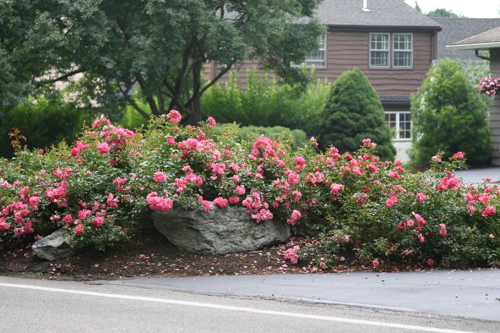 Flower Carpet Pink Supreme Groundcover Roses Next Generat Flickr