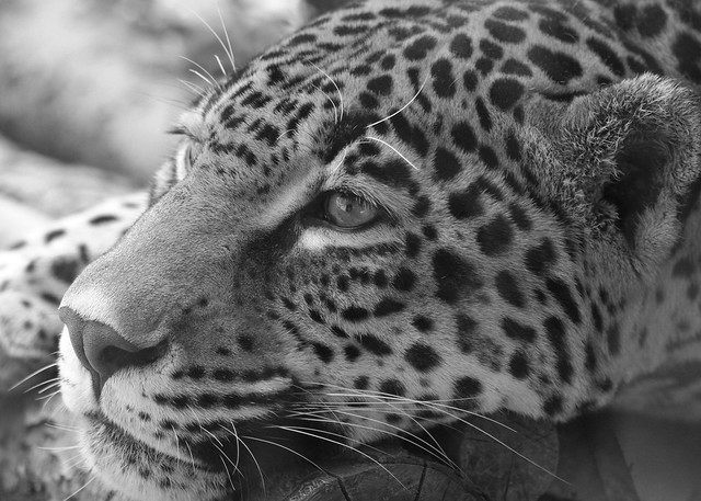 Jaguar - Black and White | Flickr - Photo Sharing!