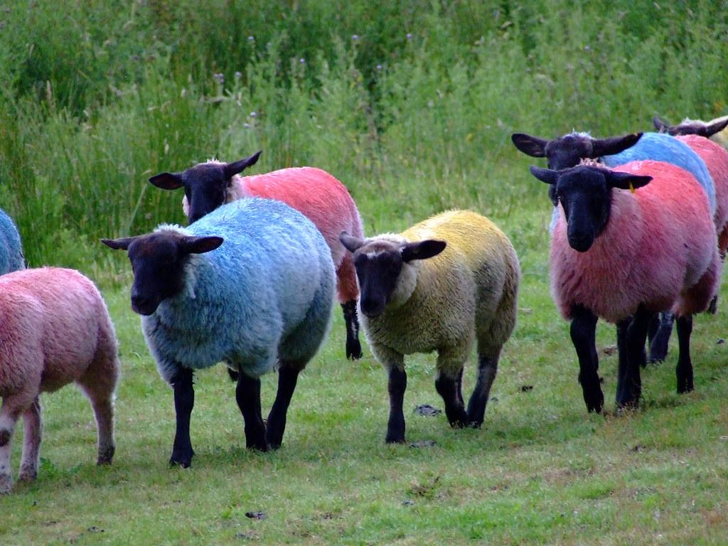 Sheep Latitude Festival Suffolk Tim Parkinson Flickr