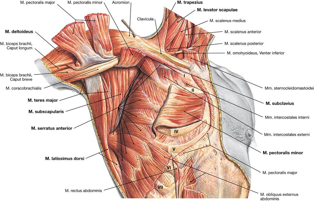 Charmant Anatomie Der Schulter Und Nacken Fotos - Anatomie Von ...