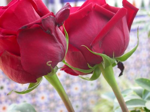 Dos rosas para el cumpleaños de mi hija Flickr Photo Sharing!