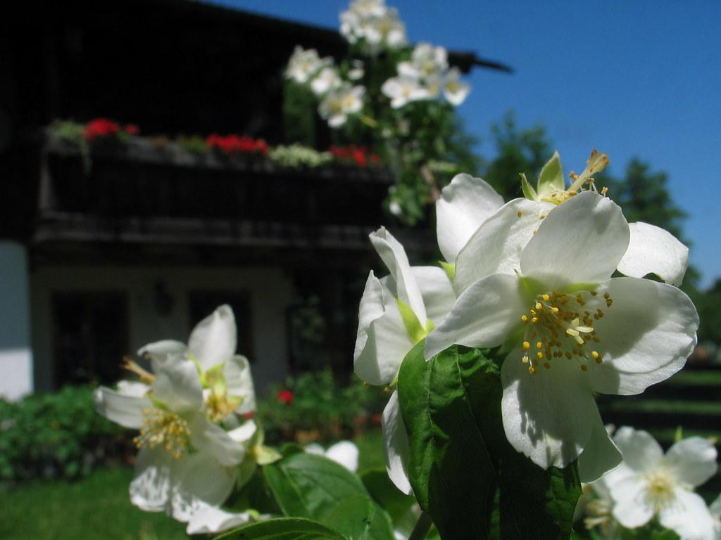 jasmine flower jasmin blume bl te sommer summer balcony ba. Black Bedroom Furniture Sets. Home Design Ideas