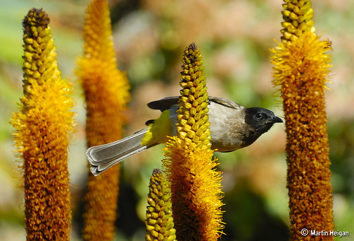 Black-eyed Bulbul on Aloe vryheidensis | by Martin_Heigan