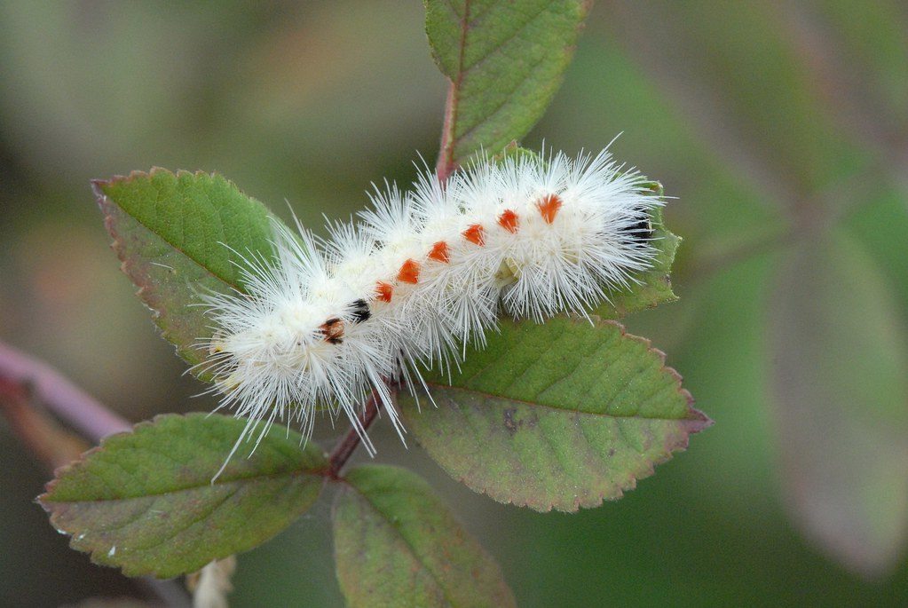 spotted tussock moth caterpillar  lophocampa maculata  dsc