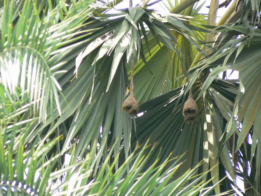 Taad (Hindi: ताड़) | Arecaceae (palm family) » Borassus ...