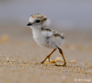 Piping Plover | by BN Singh