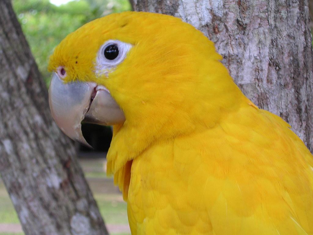 Arara Amarela