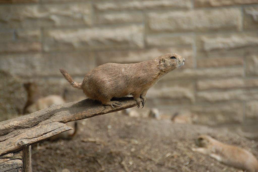 Black Tailed Prairie Dog X North American Beaver