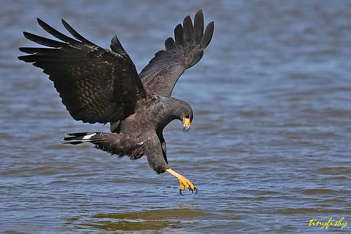 essay 2 hawk 2 Hawk: hawk, any of various small to medium-sized falconiform birds, particularly  those in the genus accipiter, known as the true hawks, and including the.