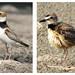 Hub Gulf Birds