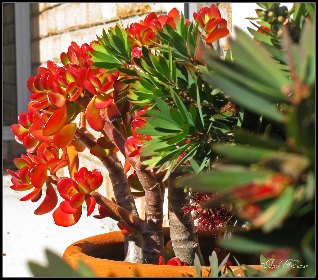 jade plant how to produce pink flowers