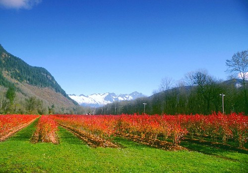 Organic Blueberry Field in the Fall | by Cascadian Farm