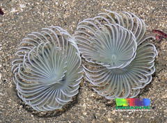 White spiral fanworms (Family Sabellidae) | by wildsingapore