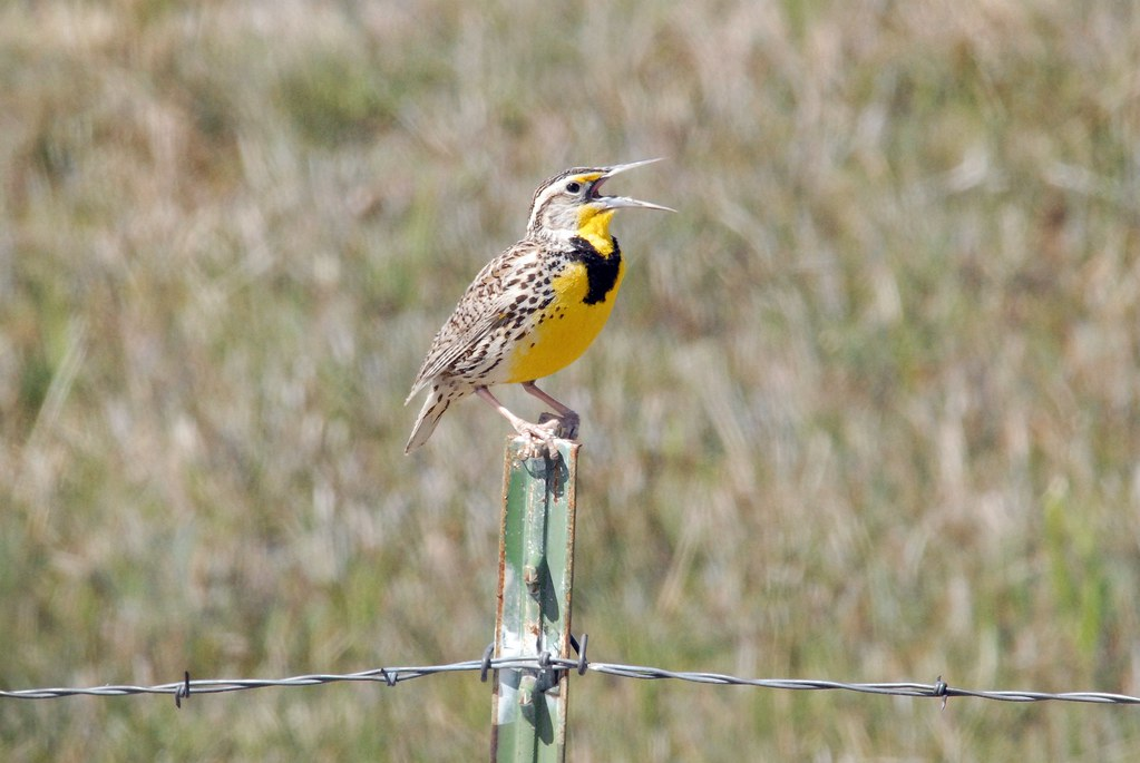 Western Meadowlark (Sturnella neglecta) DSC_0196 | by NDomer73