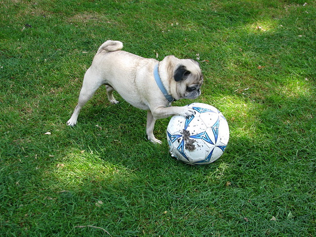 Image Result For Dogs Playing Football