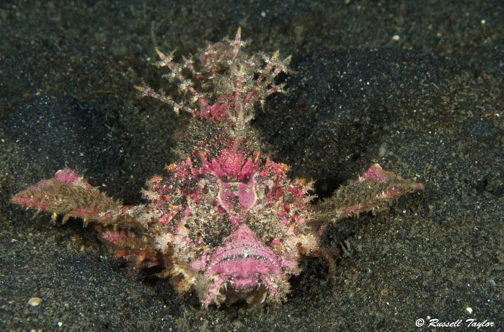 Demon Stinger Scorpionfish Also Known As Devilfish