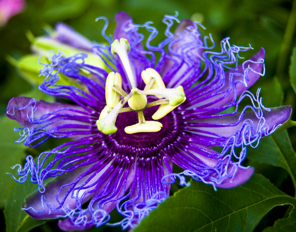 Purple Passion Flower Thanks to jrandallc I now know the f…