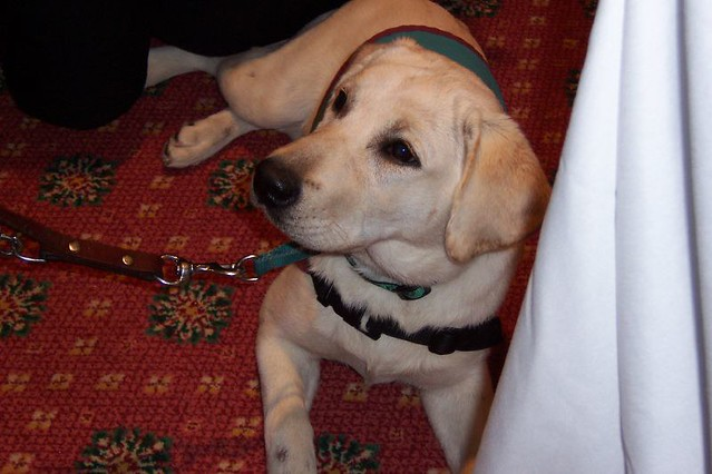 Image Result For Service Dog Training