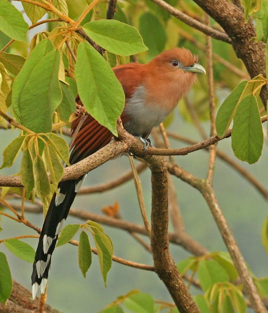Squirrel Cuckoo Squirrel Cuckoo | Expl...