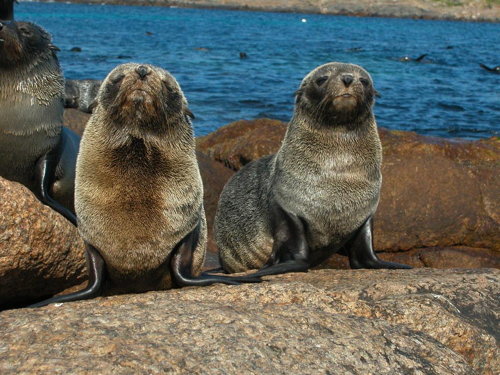 Fur Seals New Zealand South Island