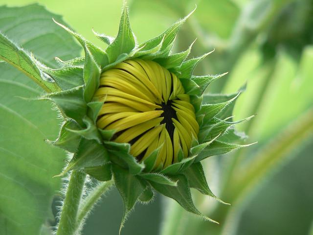 Sunflower Bud 1