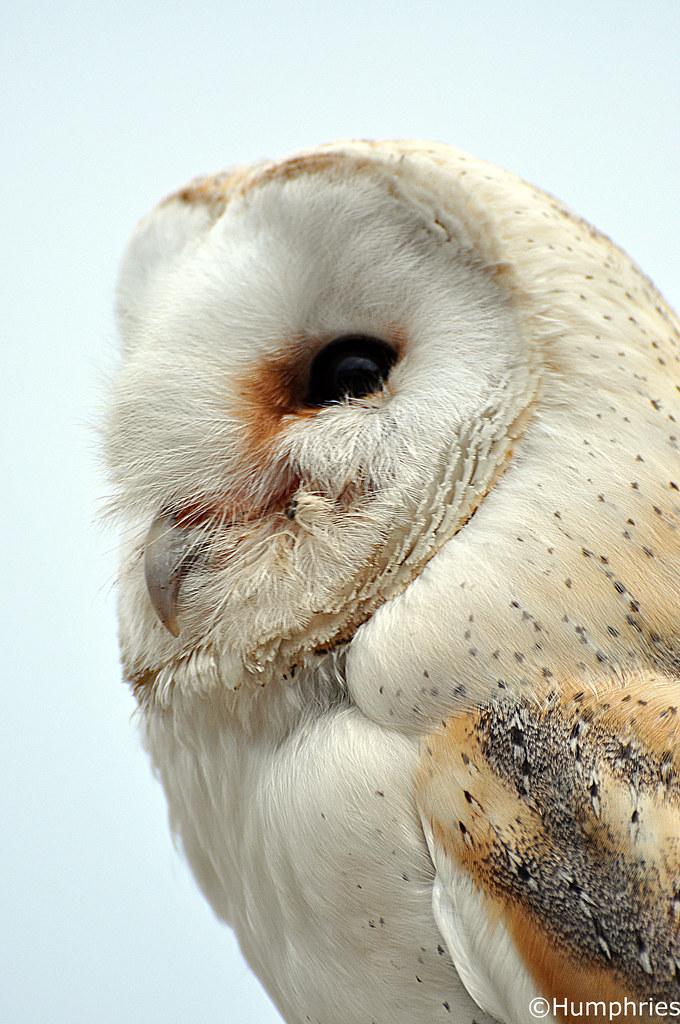 Shepreth Wildlife Park: Barn Owl | Text taken from: www ...