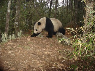 Giant Panda | by siwild