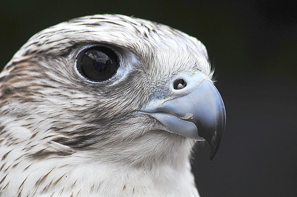 Gyrfalcon The Gyrfalcons Falco Rusticolus Are The