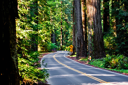 road winds among the redwoods of Avenue of the Giants | by tibchris