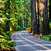 road winds among the redwoods of Avenue of the Giants