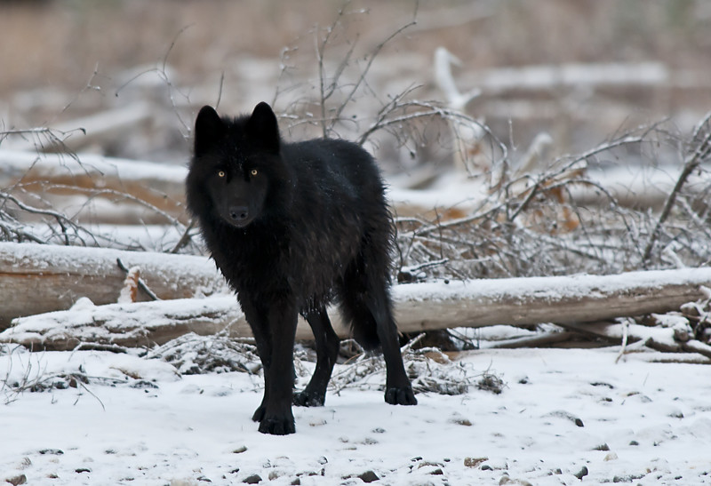 Black Wolf | A black wolf in Kootenay National Park. You ...