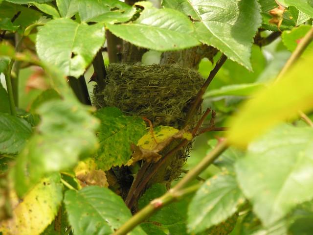 un nid de chardonneret un nid de chardonneret dans un rosi flickr. Black Bedroom Furniture Sets. Home Design Ideas