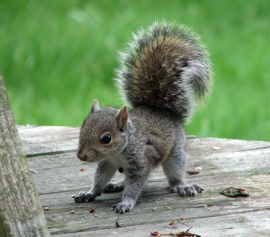 Canadian Animals, the Beaver, Wolf, Deer, Coyote, Squirrel Baby fox squirrel pictures