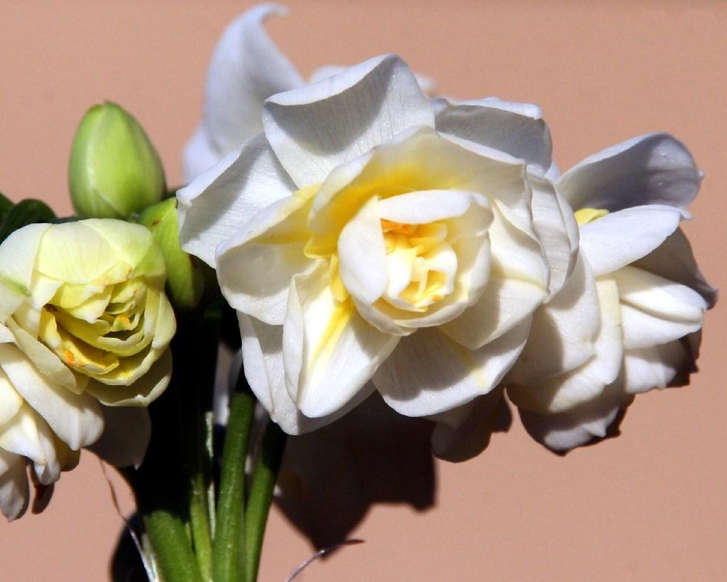 Jonquils Flowers Nickie