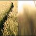 wheatfield no.2