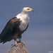 Fish Eagle perched atop rock