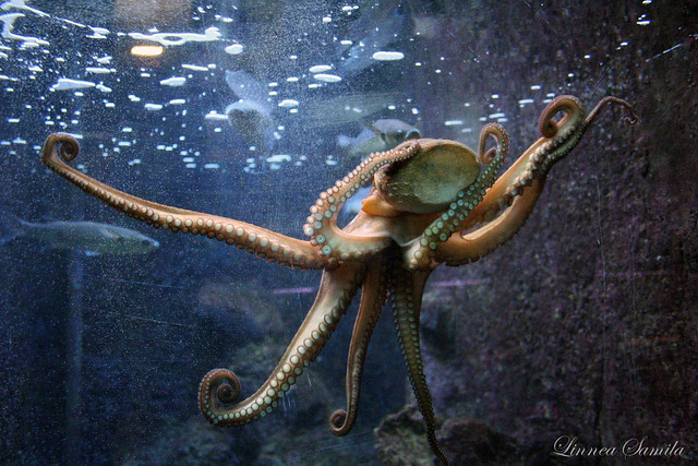 Самый большой осьминог в мире с