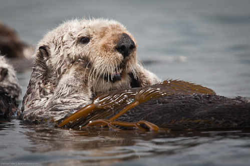 (3 of 5) California Sea Otter (Enhydra lutris) resting in a colony of a dozen sea otters and wrapped in kelp | by mikebaird