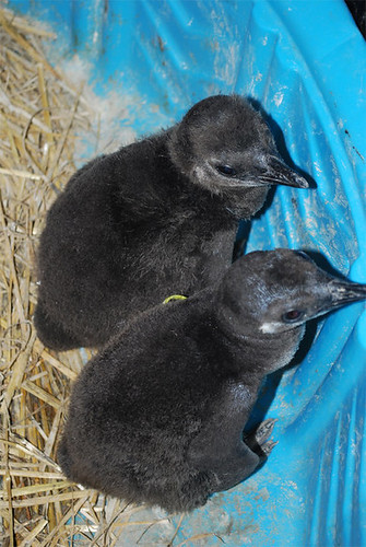 Baby Magellanic Penguins! | by Potter Park Zoo