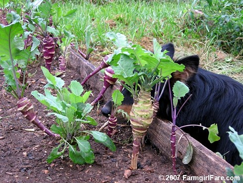 Lucky Buddy Bear Guarding Some Newly Discovered Resprouted Purple Kohlrabi | by Farmgirl Susan