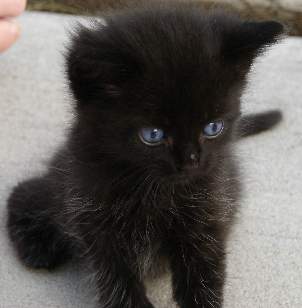 Fluffy Black Kittens With Blue Eyes Black Kitten | Weird_A...
